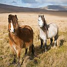 Welsh Mountain Ponies in the Brecon Beacons by Steve  Liptrot