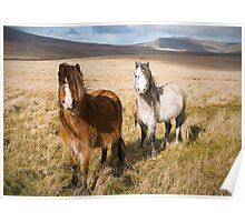 Welsh Mountain Ponies in the Brecon Beacons Poster