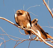A Pair of Hawks by Marvin Collins