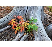 Fall Holly Photographic Print