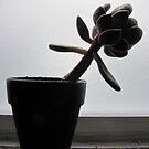Succulent by carol selchert
