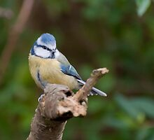 Blue Tit by suffolkwildlife