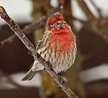 Grandpa House Finch  by Chuck Gardner