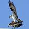 Birds of Prey (CriscoPhotos)