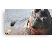 Hippo, South Africa Metal Print