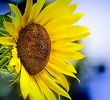 Weary Sunflower by Trudy Wilkerson