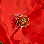 Poppy Bright by PDonovan