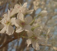 Pear Tree Blossoms by Path-Finder