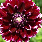 Dahlia, Burgundy & White by Bev Pascoe