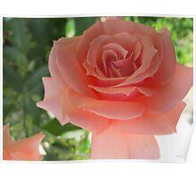 Peach Petal Fever Poster