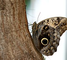 Owl Butterfly by iamkp