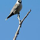 Masked Wood Swallow by bettyb