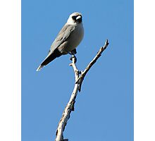Masked Wood Swallow Photographic Print