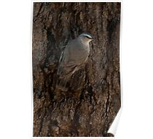White Browed Tree Creeper Poster