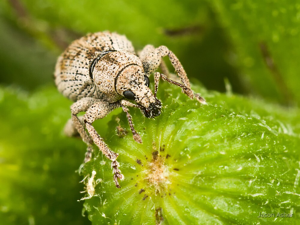 White Weevil by Jason Asher