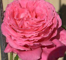 Mum's Rose by Beth  Wode