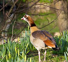 Egyptian Goose, male. by BizziLizzy