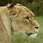 Lioness by Mark Hughes
