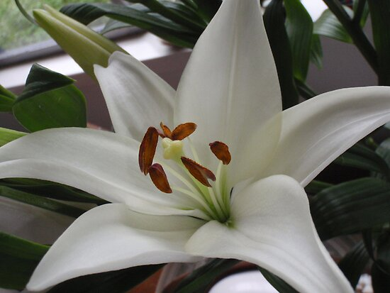 Wonderfully White With Super Stamens by KazM