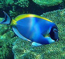 Underwater Maldives: Powderblue Surgeonfish close up by presbi
