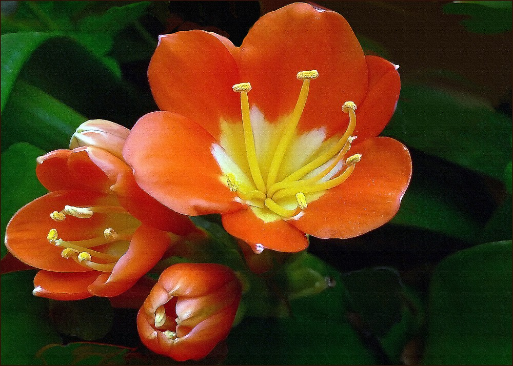 Kaffir Lily: Cheerful And Bright by paintingsheep