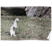Long-tailed Weasel Poster