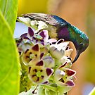 Variable sunbird by Shaun Whiteman