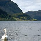 Swan in Loch Lubnaig by ScottishVet