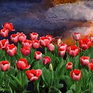 Special order Sunset for my tulip garden by KathiSPerez