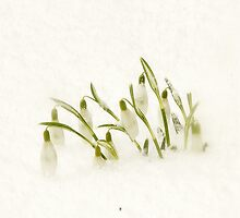 Crocus in the Snow by shilohrachelle
