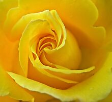 Yellow Rose #3 by Emily Bagley