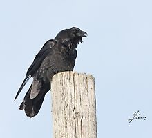 The Common Raven by DigitallyStill