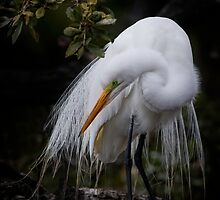 Great egret in deep shade by bettywiley