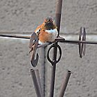 Mr Rufous  by Judy Grant