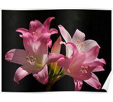 Belladonna Lily Poster