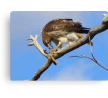 Red-tailed Hawk ~ Breakfast Ala Branch Canvas Print