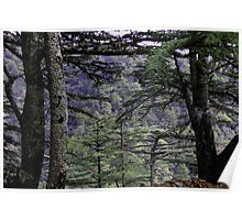 Cedrus brevifolia Poster