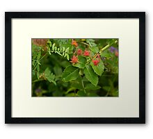 Plant with insect galls  Framed Print