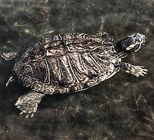 Swimming Turtle by Diego  Re