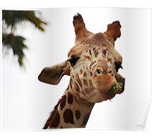 Giraffe A Chewing Poster