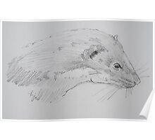 Weasel head side view pencil drawing Poster