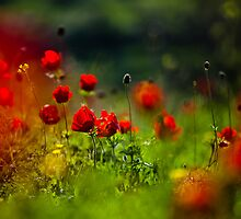 still love poppies by waitin' for rain
