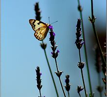 Butterfly on Lavender by elizegrundlingh