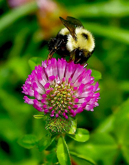 Bumble Bee by Jamie Cameron