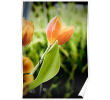 Dutch Orange Tulips Poster