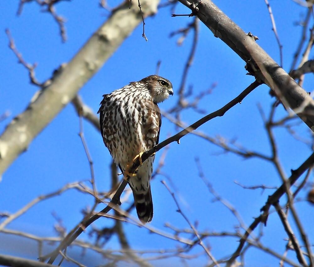 Hawk by pmarella