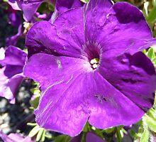 Purple Petunia by DEB CAMERON
