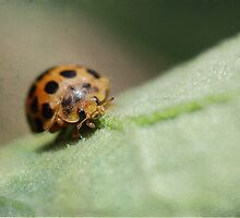 Ladybug on Leaf by yolanda