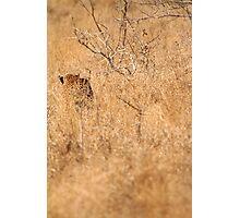 Leopard Stalking Photographic Print