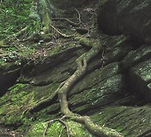 Gnarled Tree Roots - Smoky Mountains by Glenn Cecero